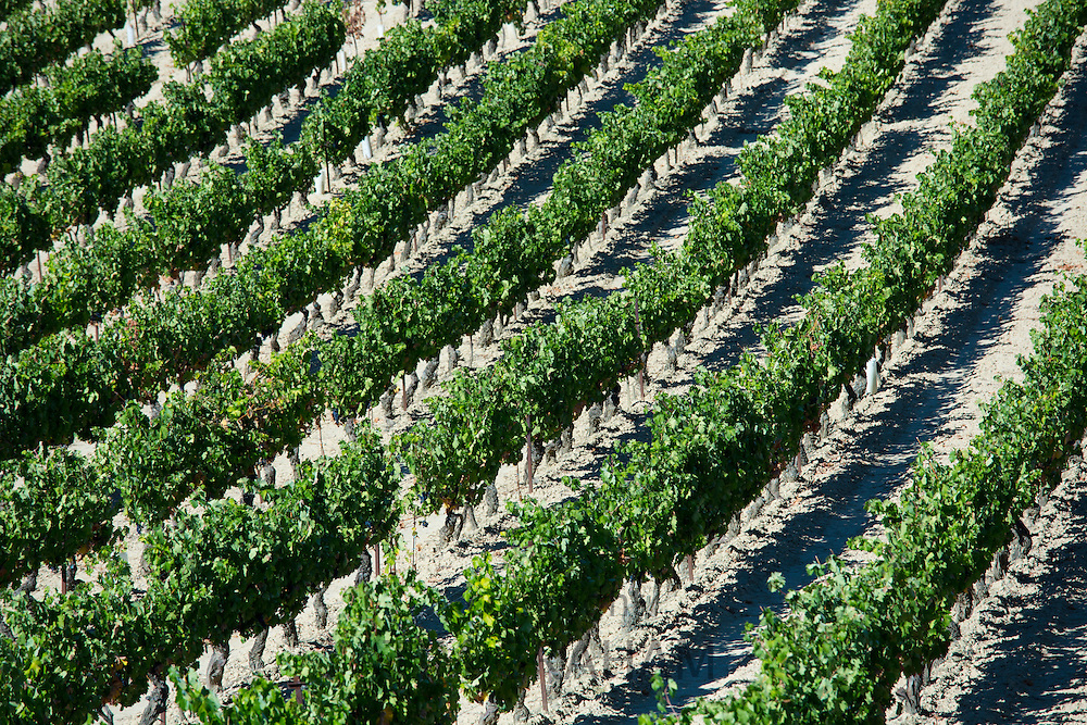Marques de Riscal vineyard with black grapes for Rioja red wine  at Elciego in Rioja-Alaveda, Spain RESERVED USE