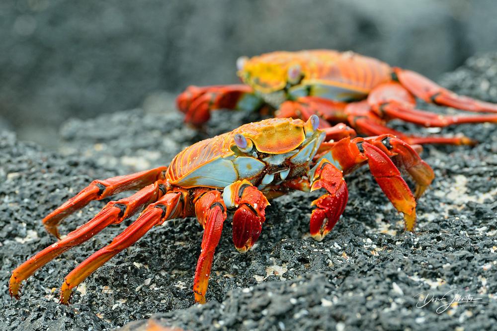 Sally Lightfoot Crab (Grapsus grapsus), Galapagos Islands National Park, Santa Cruz Is., Las Bachas Beach, Ecuador