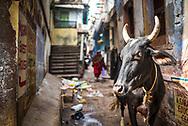 Cow in Varanasi, Uttar Pradesh, India