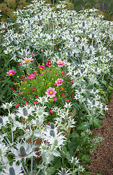 Pot with Argyranthemum 'Cherry Red' and Cosmos 'Antiquity' surrounded by Eryngium giganteum in the Oast garden