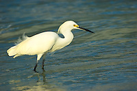Snowy egret hunting for small crabs and fish in the surf on Sanibel Island.