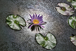 Water Lily, Purple #9