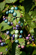 Porcelain berry, though attactive, is highly invasive on Cape Cod.