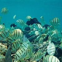 Kealakekua Bay, Hawaii Island, Hawaii. Tropical fish swim in atop a coral reef.