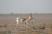 Asian Wild Ass, Equus onager, Young male suckling  India
