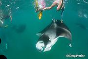 manta ray, Manta alfredi (formerly Manta birostris ), trying to feed on plankton, dives to get away from snorkeler touching it, Hanifaru Bay, Baa Atoll, Maldives ( Indian Ocean )