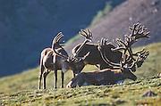 Alaska. Denali NP. Caribou (Rangifer tarandus) bulls in grassy area.