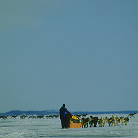 Dog sled team meets caribou herd crossing Great Slave Lake, Canada.