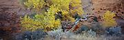 Cottonwood against Sandstone Wall, Escalante Wilderness, UT, NR