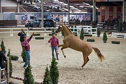 029, Never Alone Van't Heike<br /> BWP Hengsten keuring Koningshooikt 2015<br /> © Hippo Foto - Dirk Caremans<br /> 21/01/16
