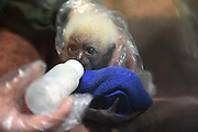 NANJING, CHINA - JANUARY 12: (CHINA OUT) <br /> <br /> A small gibbon drinks milk with a nursing bottle on its full month day at Nanjing Hongshan Forest Zoo on January 12, 2016 in Nanjing, Jiangsu Province of China. It\'s said the small gibbion is the eighth hylobates leucogenys that hand-reared at the zoo.<br /> ©Exclusivepix Media