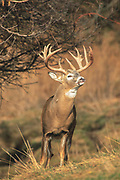 Whitetail buck during the autumn rut