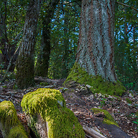 Moss grows below redwood trunks in a forest atop the Coastal Mountains along Skyline Drive in the California Bay Area. (El Corte de Madera Creek Open Space Preserve.)