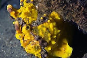 arty frogfish (Antennarius maculatus) - Milne Bay, PNG..Frogfish are lie & wait carnivorous predators.  They have an appendage above their head which is waved about to attract prospective prey.  All frogfish have large mouths are are capable of swallowing prey to their own size.  Rather than swim above the bottom, they walk along the substrate using their pectoral fins.  Frogfish inhabit reef areas to a depth 73 m.  Often within one species there will be several different colour variations or phases; brown, black, yellow, white, yellow, red and orange being the most common.  Some species have hairy variations and maybe covered in numerous small wart-like knobs.  Frogfish have been known to mimic the colours of the surrounding terrain (ie sponges & ascidians).  Variable size depending species.   Length 2 - 30 cm