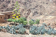 Berber house with Agave (Asparagaceae) in full bloom in the High Atlas Mountains, Morocco.