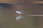 A common merganser (Mergus merganser) lifts off from the Snohomish River near Kenmore, Washington. The merganser's motion is blurred by a long exposure.