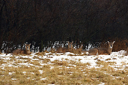06 February 2008: White tail deer in a clearing next to some scrub brush in Comlara Park north of Bloomington-Normal in Illinois.  The park is part of the McLean County parks system.