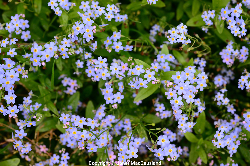 Forget-me-nots grow well in moist areas, as they like wet feet. I had to stand in water to make this photograph. The forget-me-not flowers are the Alaska State Flower.