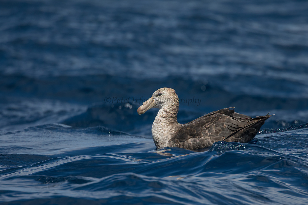 Northern Giant Petrel (Macronectes halli)<br /> South of South Africa<br /> Western Cape<br /> South Africa<br /> Juveniles<br /> 60 miles south of Gansbaai