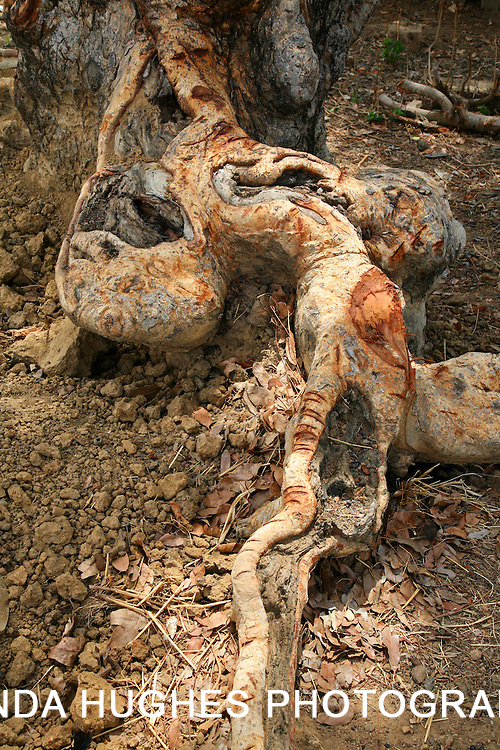 Root of a large tree in the Upper West Region of Ghana West Africa