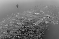A Diver observes a huge school of Jacks<br /> <br /> <br /> Shot at Cocos Island, Costa Rica