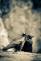 Ravens on  the Grand Canyon. Grand Canyon National Park, AZ.