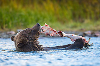 Grizzly bear eating sockeye salmon, British Columbia, Canada