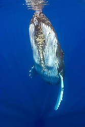 humpback whale, Megaptera novaeangliae, note parasitic acorn barnacles, Cornula diaderma, Hawaii, Pacific Ocean