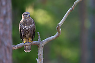 Common buzzard, Buteo buteo, Järbo, Sweden