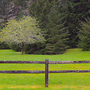 Roadside Apple Tree - Hwy 199 - Six River National Forest - Northern CA