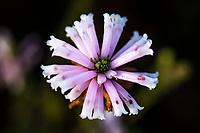 Erica flowers, Heuningberg Nature Reserve, Bredasdorp, Western Cape, South Africa