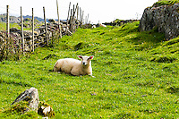Norway, Rogaland, Kvitsøy. Sheep.