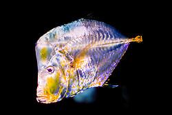 Mexican lookdown ( c ), Selene brevoortii, eastern Pacific Ocean