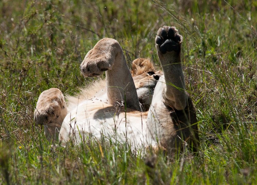 The Lion - Simba
