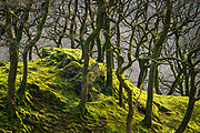 I keep on returning to this magical, enchanted little copse of tangled ancient woodland deep in Snowdonia. It often seems to catch the afternoon & evening light and in the Spring before the trees enter full bloom, the wonderful shapes of trunks & branches are really apparent.