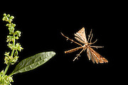 A plume moth (Gillmeria pallidactyla) flying on a warm summer night. Coastal mountains of Oregon.