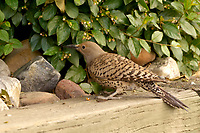 Northern Flicker (woodpecker). Residence Inn in Boulder, Colorado. Image taken with a Nikon D2xs camera and 70-200 mm f/2.8 VR lens (ISO 400, 180 mm, f/4, 1/50 sec).