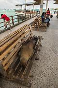 Galapagos Sealion (Zalophus wollebaeki) <br /> Puerto Ayora, Santa Cruz Island, GALAPAGOS,  Ecuador, South America