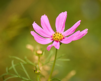 Cosmos. Image taken with a Leica CL camera and 90-280 mm lens.