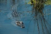 American alligator (Alligator mississippiensis)<br /> Little St Simon's Island, Barrier Islands, Georgia<br /> USA<br /> RANGE: Wetlands. Native to Southern United States