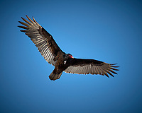 Turkey Vulture in flight. Backyard winter nature in New Jersey. Image taken with a Nikon D2xs camera and 80-400 mm VR lens (ISO 100, 400 mm, f/9, 1/320 sec).