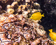 """The yellow tang, or Lau'ipala (Zebrasoma flavescens in the surgeonfish family, Acanthuridae). Zebrasoma flavescens is one of the most popular fish species for saltwater aquariums. Hawaii sources up to 70% of the aquarium industry's yellow tangs. """"flavescens"""" means yellow in Latin. The yellow tang is commonly found in shallow reefs in the Pacific and Indian Oceans, west of Hawaii and east of Japan. It has been seen in waters around Florida, where it is not native. Snorkel at Two-Step (Pae'a) on Honaunau Bay, located across Keoneele Cove from Pu'uhonu O Honaunau National Historical Park (""""Place of Refuge""""), on the Big Island of Hawaii, USA. Address of Pae'a: 84-5571 Honaunau Beach Rd, Captain Cook, HI 96704."""