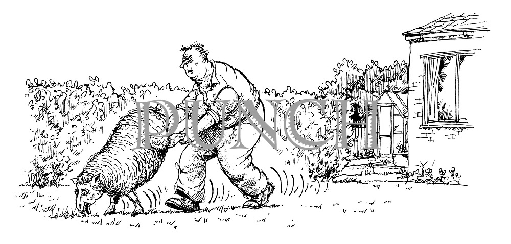 (A man walks down his lawn holding the hind legs of a sheep that is acting as a lawn mower)