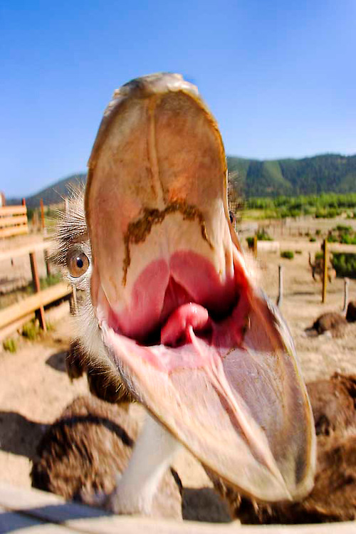 Restrained Female African Ostrich hungry for my camera. Location is Ostrich Land in Buellton California. Shot hand held with flash off camera.