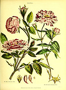 Rosa - Roses from Vol II of the book The universal herbal : or botanical, medical and agricultural dictionary : containing an account of all known plants in the world, arranged according to the Linnean system. Specifying the uses to which they are or may be applied By Thomas Green,  Published in 1816 by Nuttall, Fisher & Co. in Liverpool and Printed at the Caxton Press by H. Fisher