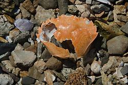 Crab Shell, Sheep Island, Castine, Maine, US