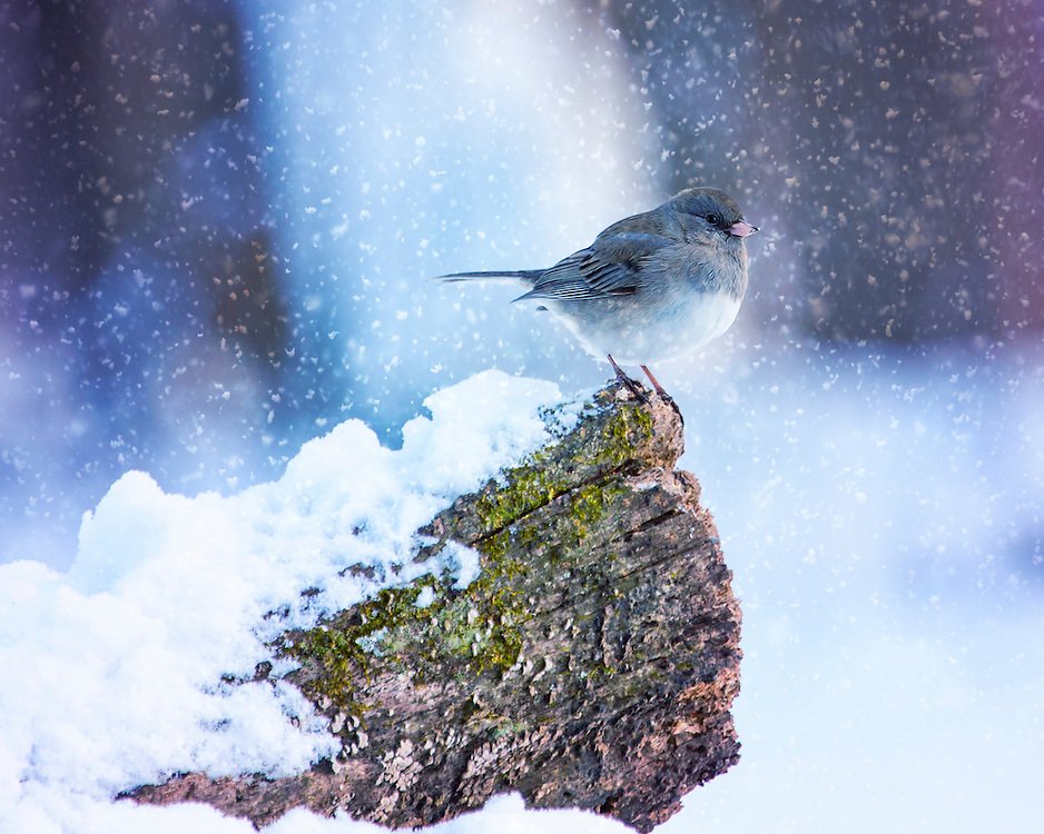A Dark-Eyed Junco Enjoying Some Flurries As The Snow Piles Up Around The Fallen Tree