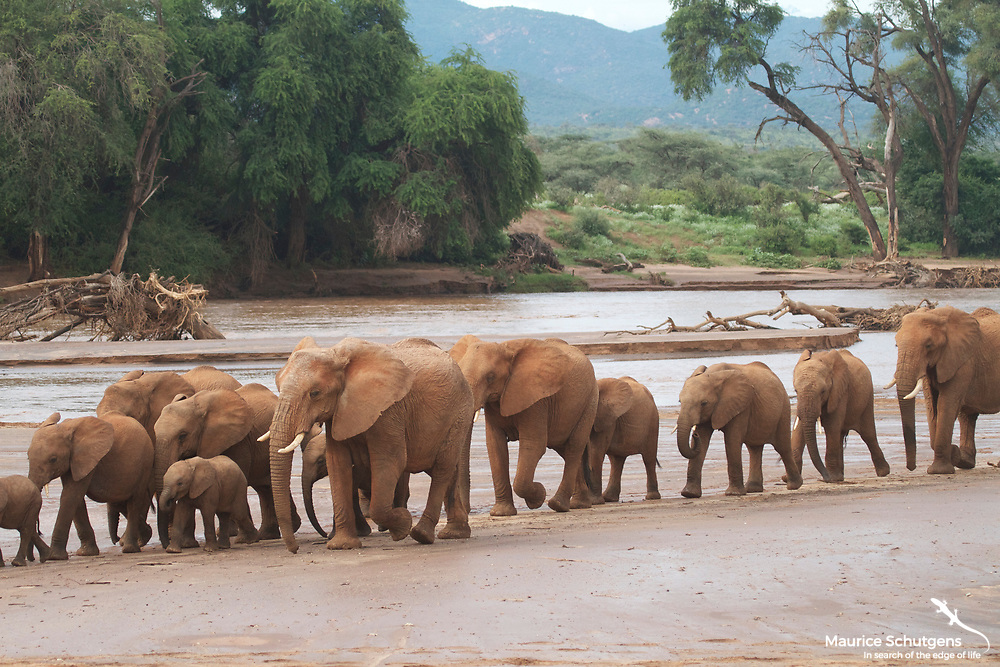 A herd of elephants crosses the floodplain in Samburu National Reserve, Kenya