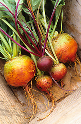 Colourful beetroot in a wooden trug. Beetroot 'Pronto' and 'Burpee's Golden'