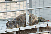 RN02, or Kamilo, a problem 6 month old male Hawaiian monk seal, Neomonachus schauinslandi, rests in a holding pen after capture, subsequent to biting three swimmers; it will be held until it can be relocated to a safe destination where it will not encounter humans, Kailua-Kona, Hawaii ( the Big Island )